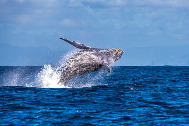 #3: Baleias-jubarte no Espírito Santo - Últimos Refúgios na TV Ambiental