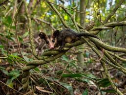 #60: Conheça o Projeto Marsupiais - Últimos Refúgios na TV Ambiental