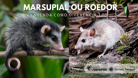 Roedores X Marsupiais: quais são as diferenças?