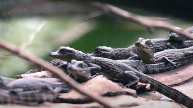 #9: Projeto Caiman: filhotes de Jacaré-do-papo-amarelo - Últimos Refúgios na TV Ambiental