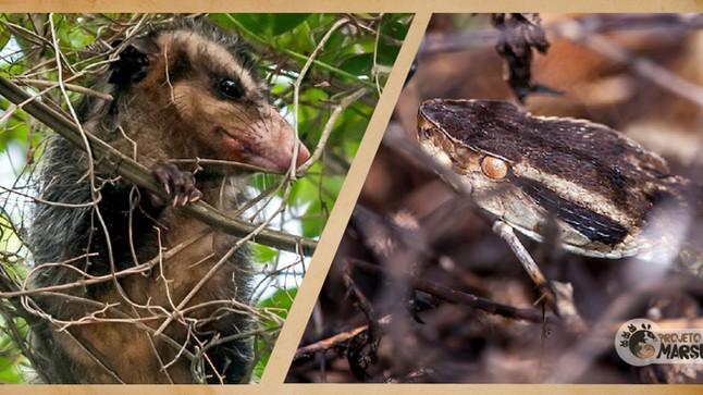 Proteína de Gambás pode ser Antídoto Universal contra picadas de Serpentes Peçonhentas