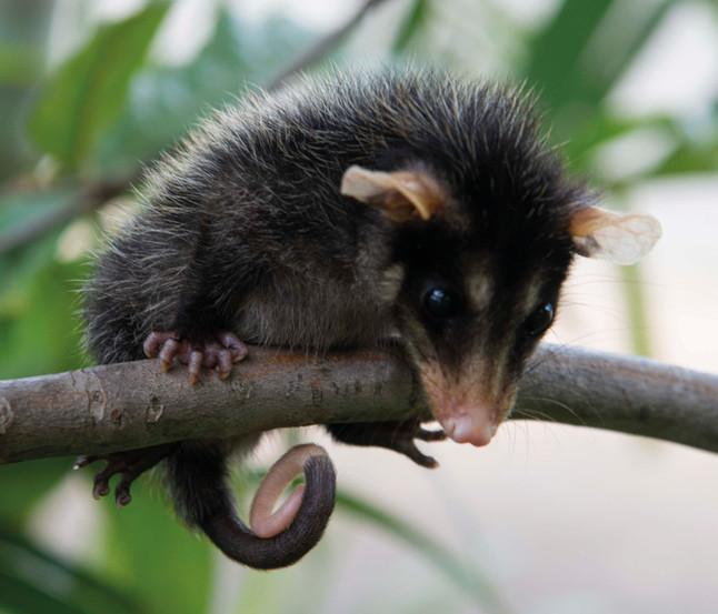 Em entrevistas para rádios, Projeto Marsupiais fala sobre a presença de gambás nas cidades