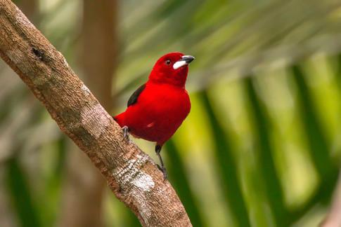 Guia Online de Observação de Aves do Espírito Santo: seja um colaborador!