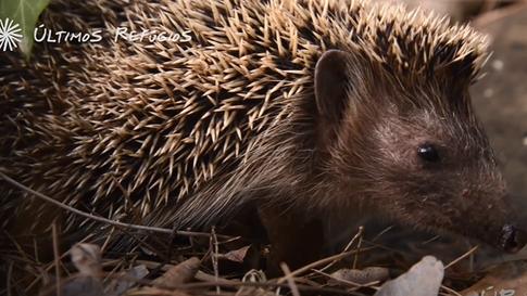 #40: Porco-espinho europeu - Últimos Refúgios na TV Ambiental