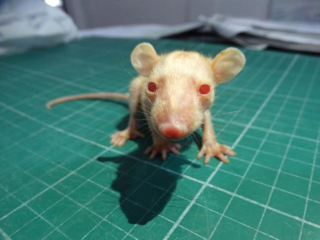 Estudo documenta caso de albinismo em gambás da Mata Atlântica brasileira