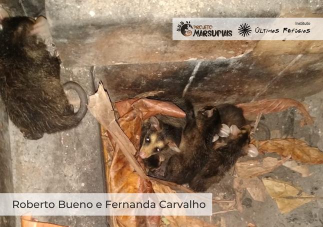 Resgate de 'família' de gambás tem final feliz em Vila Velha