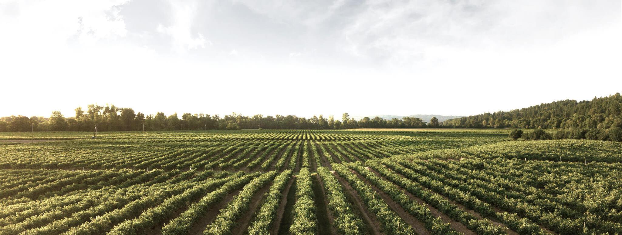 The Original Resveratrol 白藜芦醇|法国|朗格多克鲁西永|葡萄|黑比诺葡萄|葡萄园|