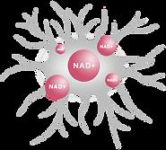 The Original Resveratrol 白藜芦醇|提高NAD+|