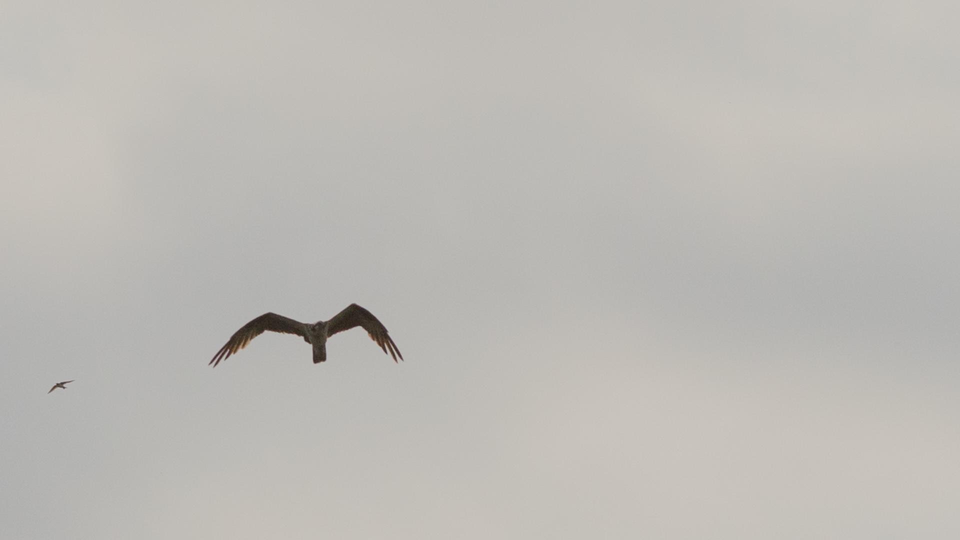 Aguia pescadora (3)