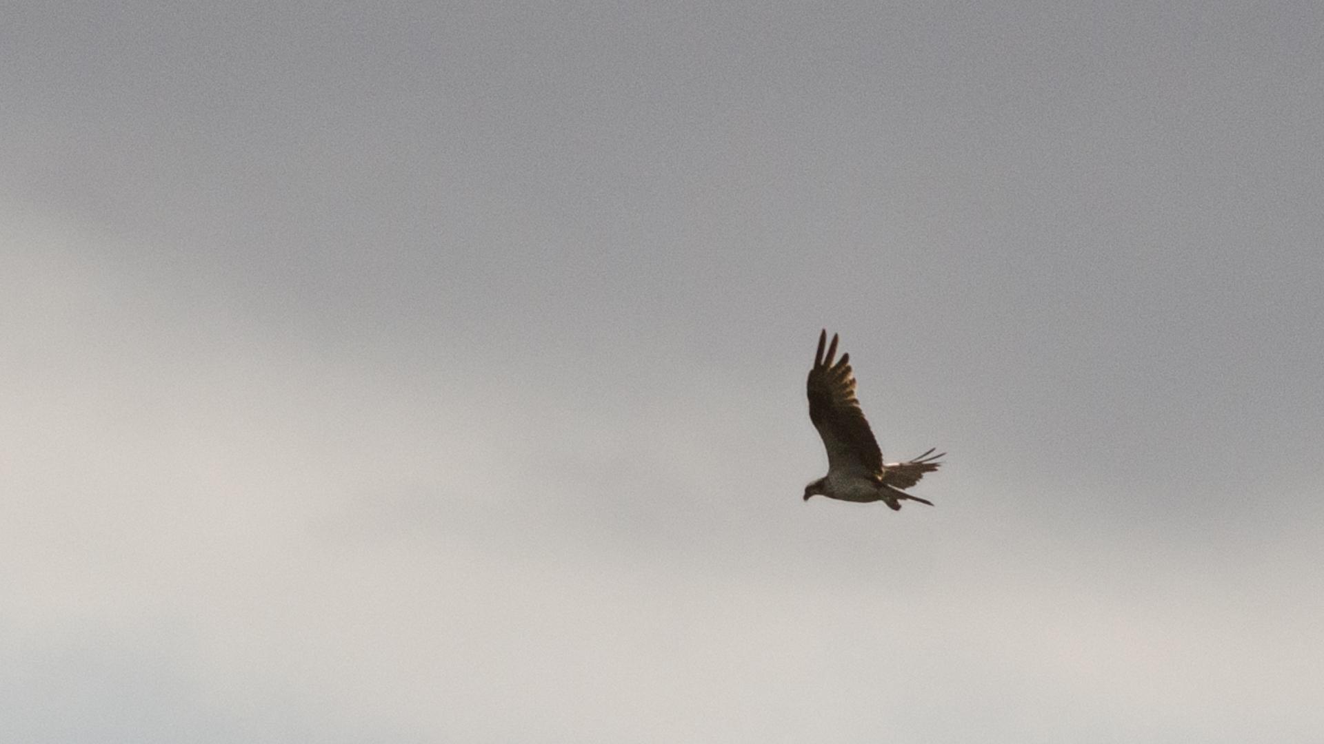 Aguia pescadora (2)