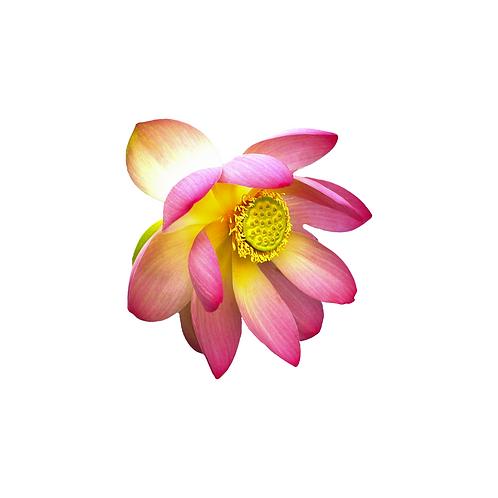 Magnet Robinson Lotus