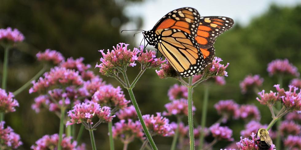 Ligonier Monarchs Milkweed and More