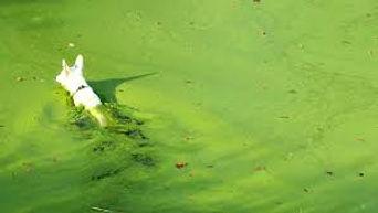 bluegreen algae dog.jpg