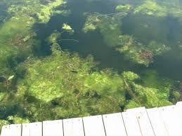 bluegreen algae.jpg