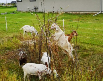 goats.JPG