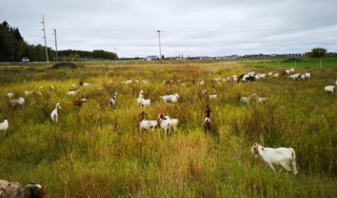 goats.JPG3.JPG