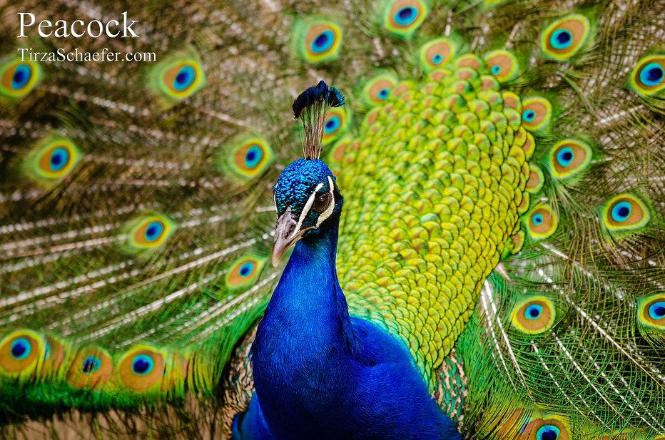 Peacock 4x6.jpg