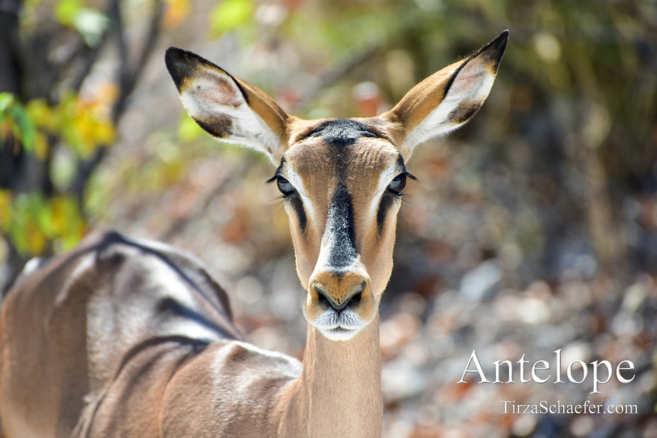 Antelope 4x6.jpg