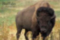 Buffalo 4x6.jpg