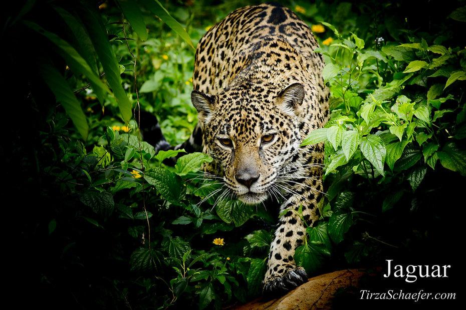 Jaguar 2 4x6.jpg