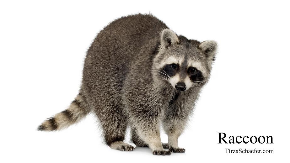 Raccoon Vid 1.png