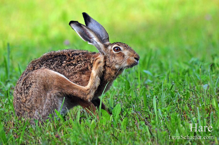 Hare 4x6.jpg