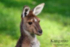 Kangaroo 4x6.jpg