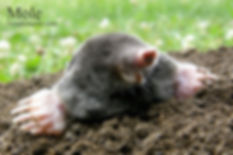 Mole 4x6.jpg