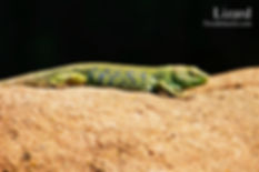 Lizard 4x6.jpg