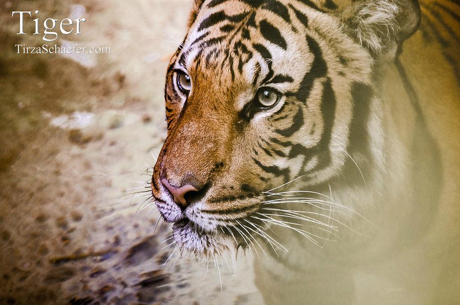 Tiger 4x6.jpg