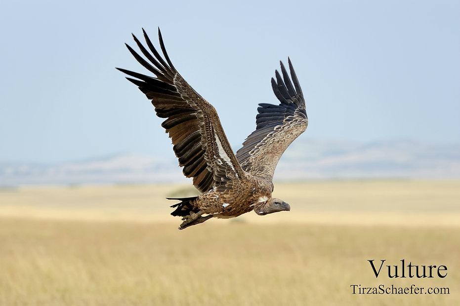 Vulture 4x6.jpg