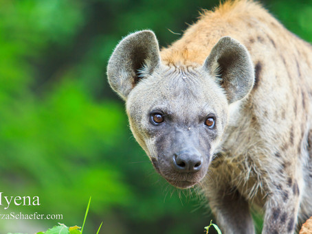 Power Animal Meditation: Hyena