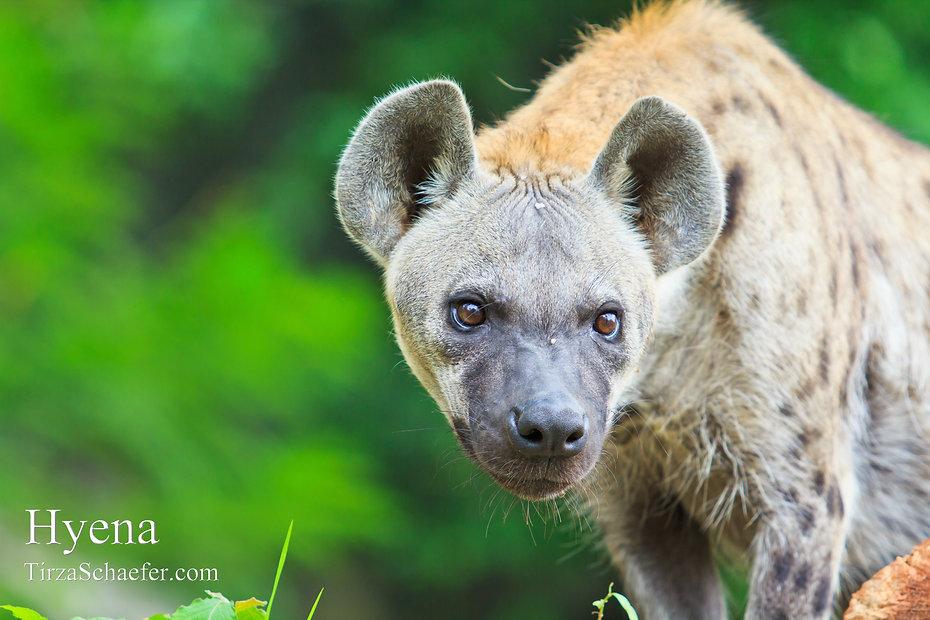 Hyena 4x6.jpg