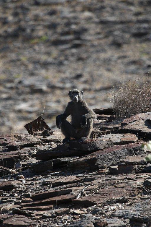 Baboon, Hoanib River, Namibia