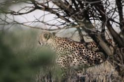 Cheetah - Etosha, Namibia