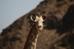 Giraffe - Hoarusib river, Namibia