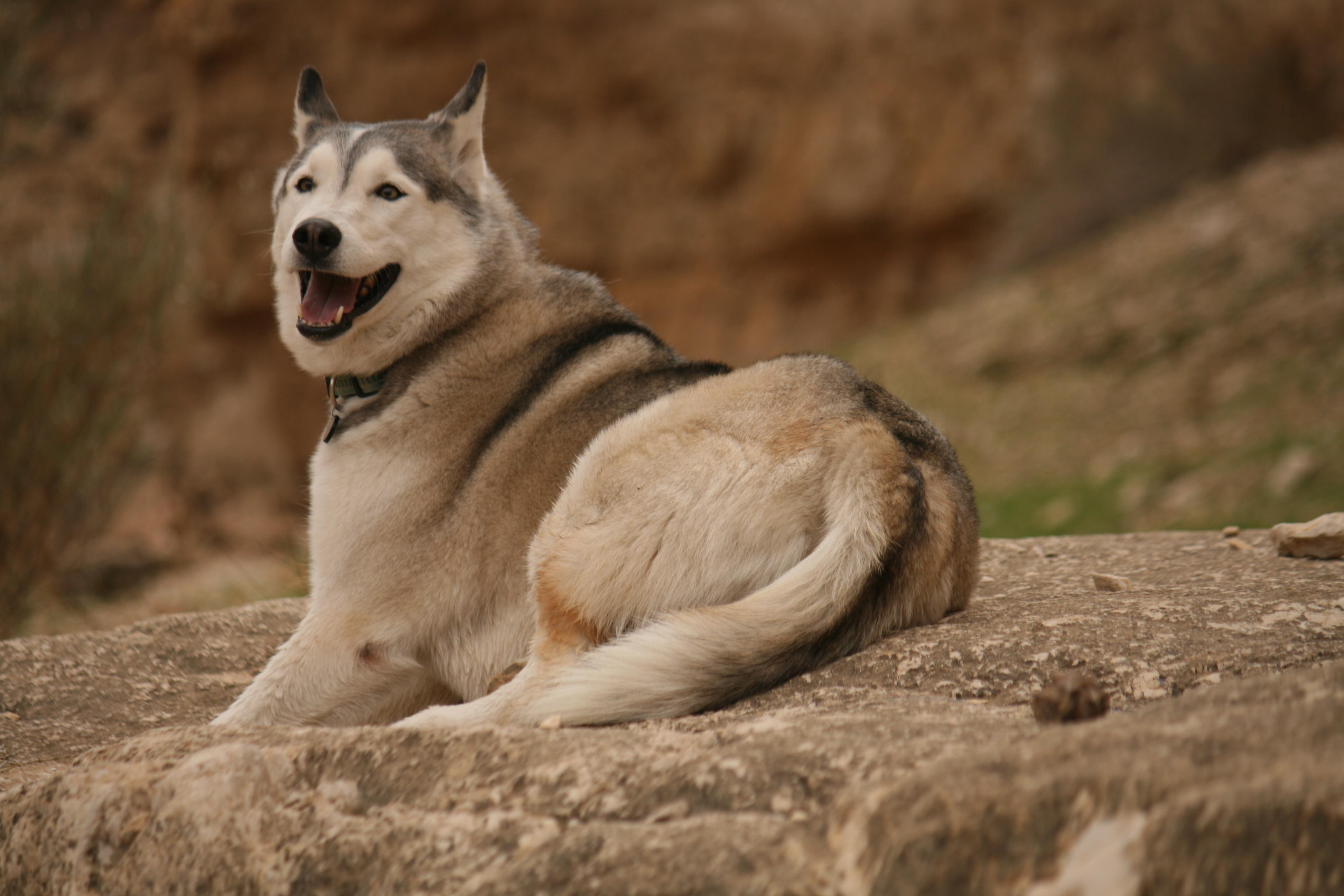 Siberian Husky, Judean Desert, Israel