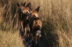 Wild dogs, Moremi, Botswana