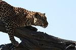 Tiger, Moremi game reserve, Botswana