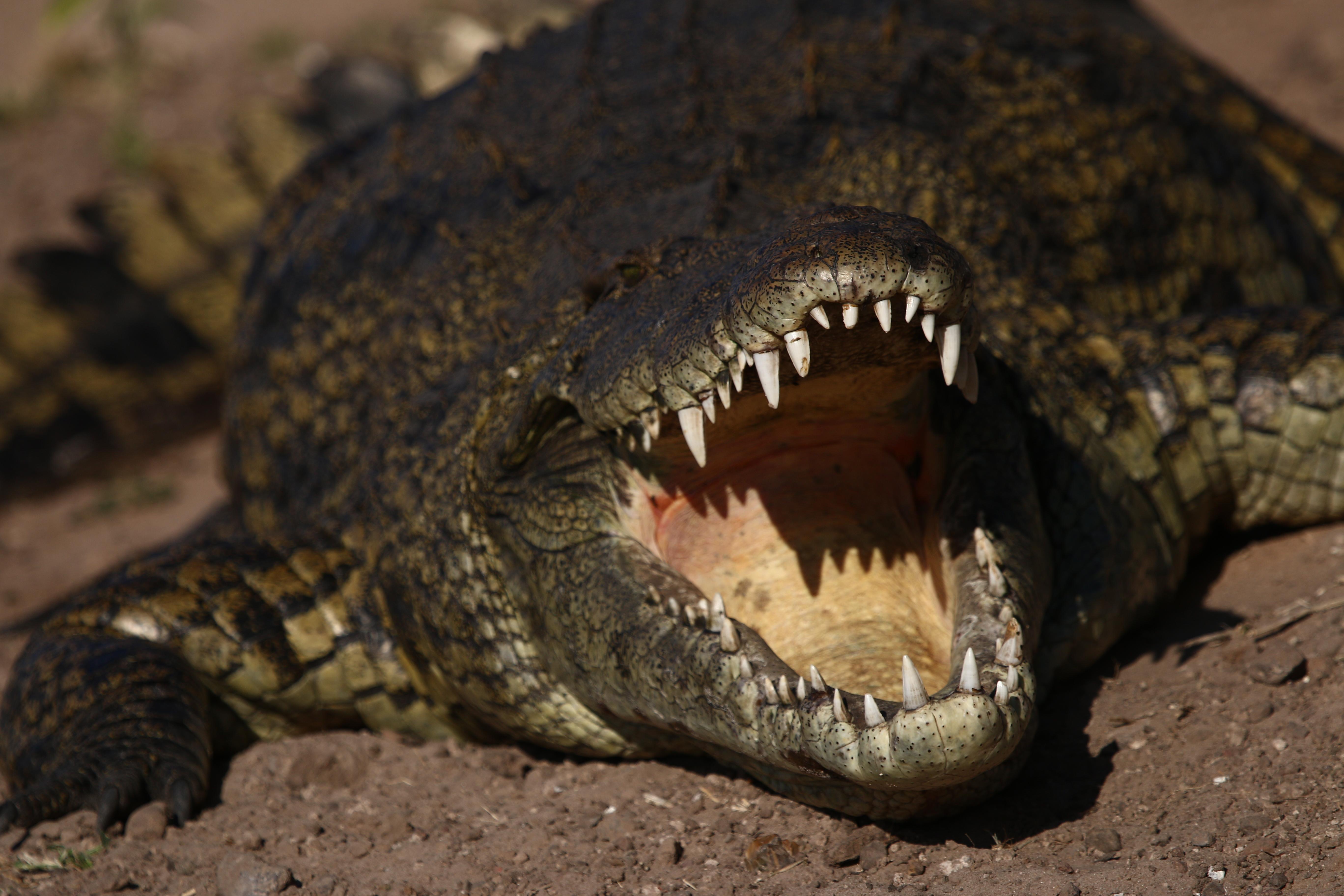 Crocodylus, Chobe river, Botswana