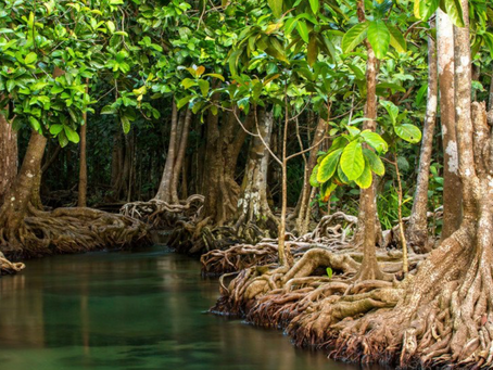 Can Mangrove Trees Protect Historical buildings?