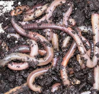 1 lb. European Nightcrawlers
