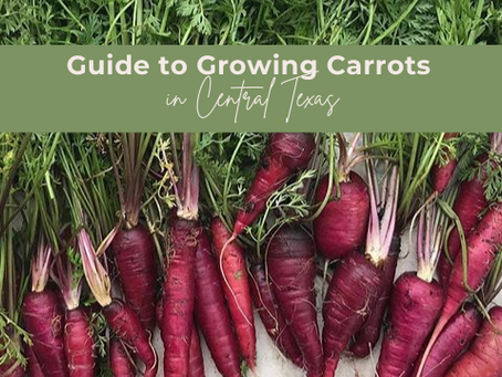 Guide to Growing Carrots in Central Texas