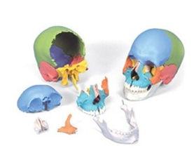 adult human skull 22 part.jpg