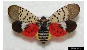 The Lanternfly Invades: Ithaca's New Invasive Species