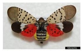 picture of a lanternfly