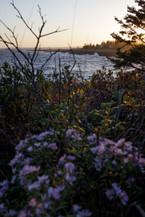 Wildflowers ↟ Pemaquid Point, ME