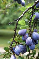 Rainy Orchard