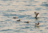 Puffins ↟ Muscongus Bay, ME