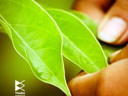 BETSARA :le Ravintsara 100% équitable